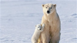 Polar Bears Getting Thinner and Having Fewer Cubs Due to Melting Sea Ice