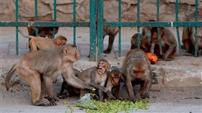 Monkeys Snatch COVID-19 Samples After Attacking Lab Worker in India
