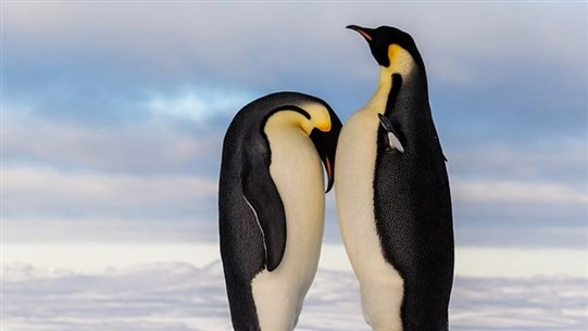 Emperor Penguins 'Could Be Wiped Out by Climate Change within 80 Years'