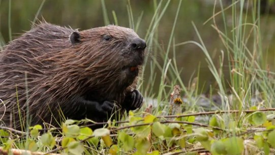 Beavers Cut Flood Risks, Clean Rivers and Boost Wildlife