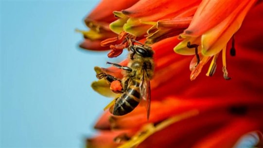 Honeybee Worker Can Produce Millions of Identical Clones, Study Shows